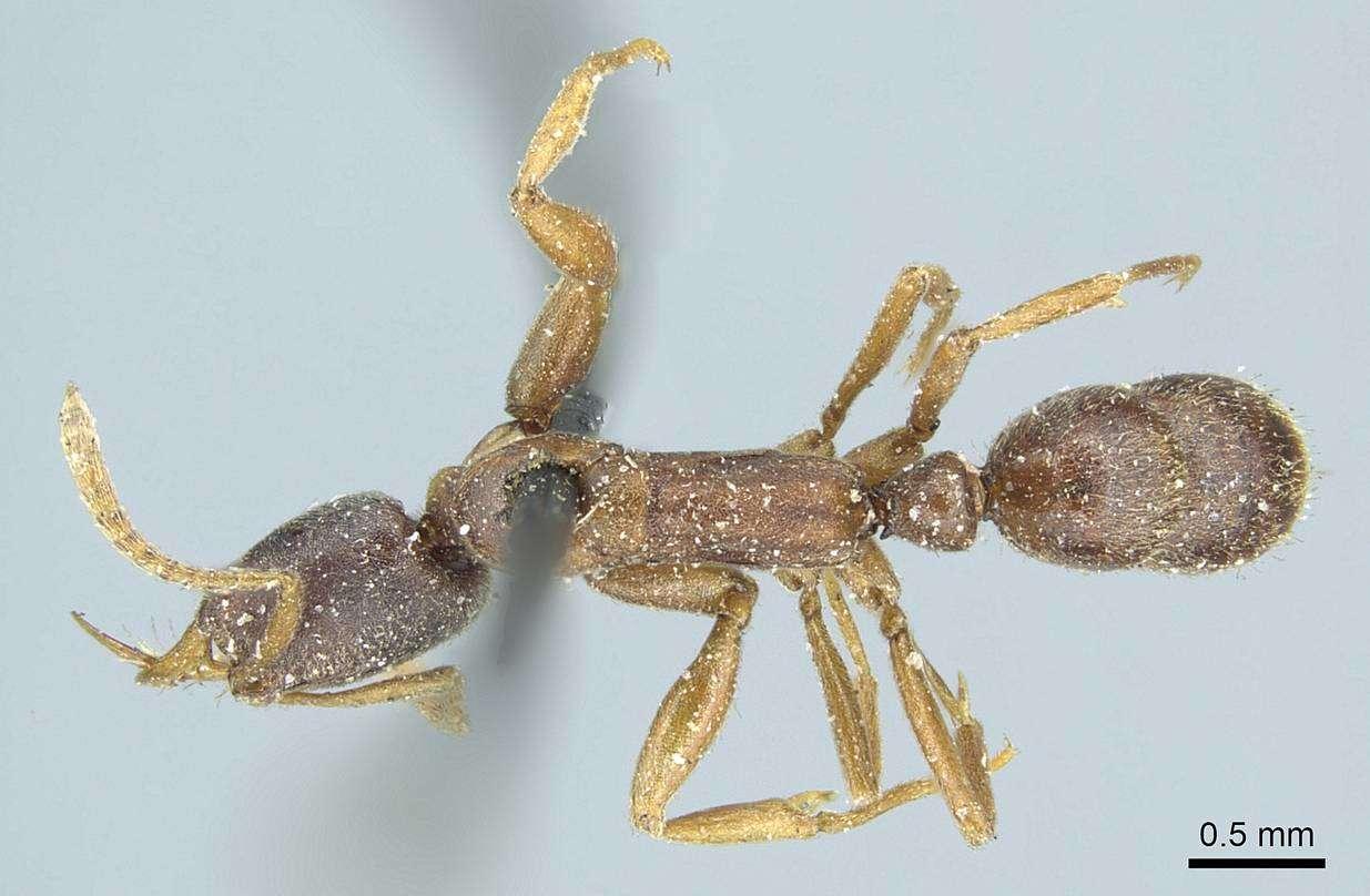 Image of Belonopelta