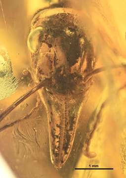Image of Prionomyrmex