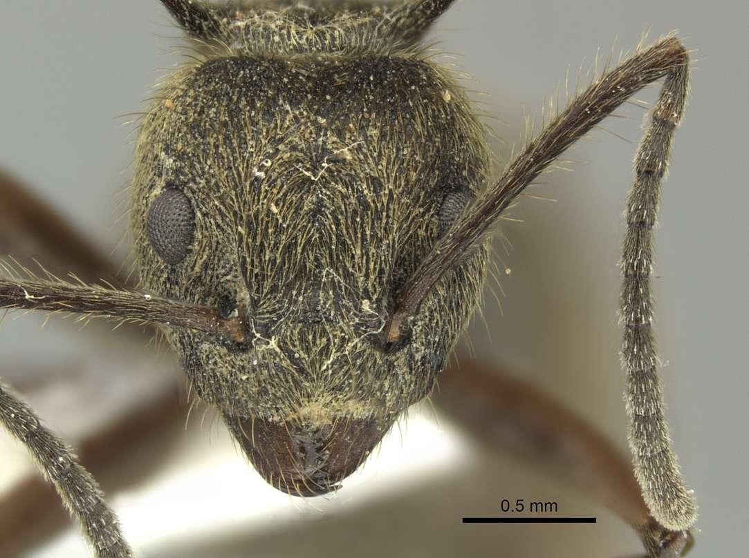 Image of <i>Dolichoderus curvilobus</i> (Lattke 1987)