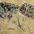 Image of <i>Pseudectatomma eocenica</i> Dlussky & Wedmann 2012