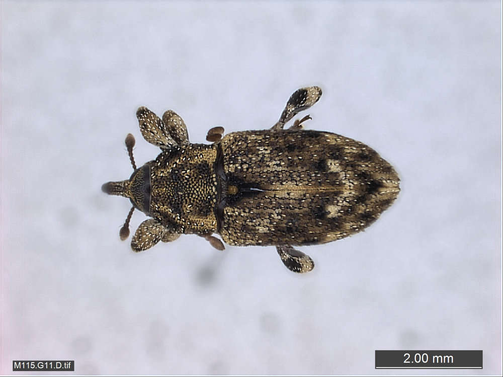 Image of Snout and Bark Beetles