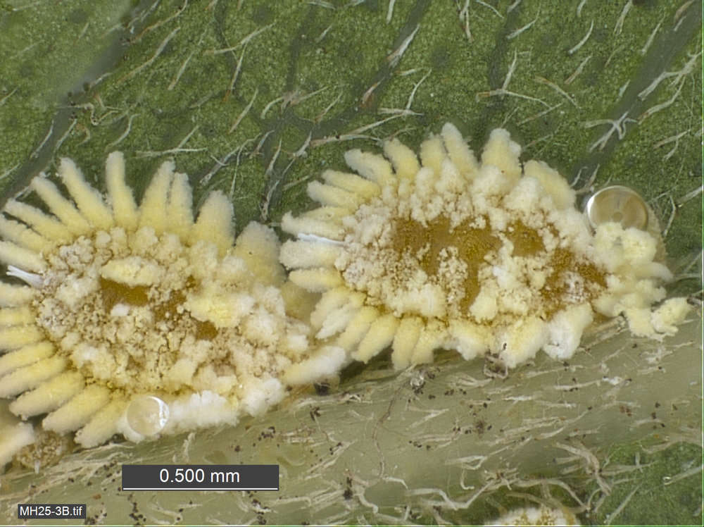 Image of plant lice