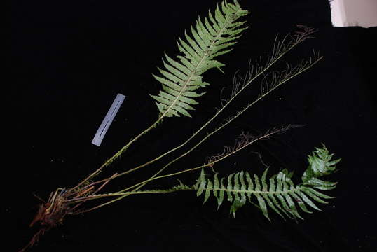 Image of blechnoids