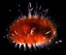 Image of Amphinomida