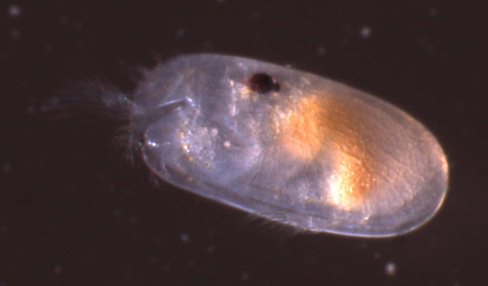 Image of Cylindroleberidoidea