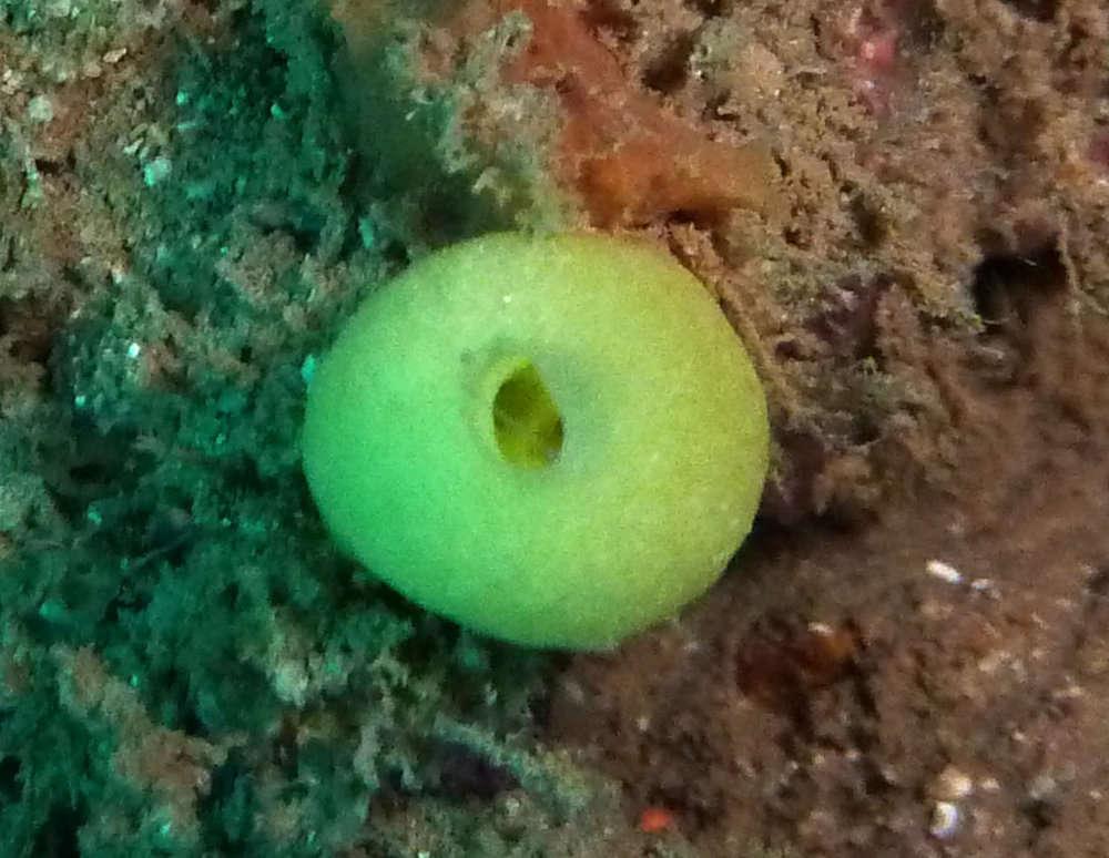 Image of Leucettidae