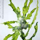 Image of <i>Ulva ranunculata</i> Kraft & A. J. K. Millar 2000