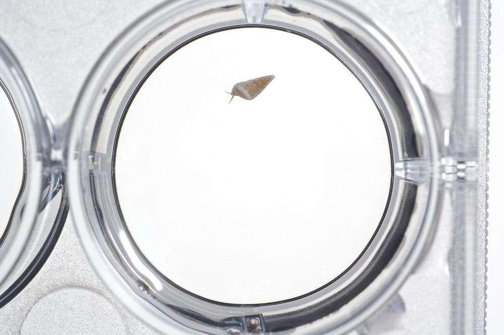 Image of Vanikoroidea