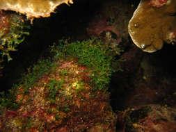 Image of brown algae