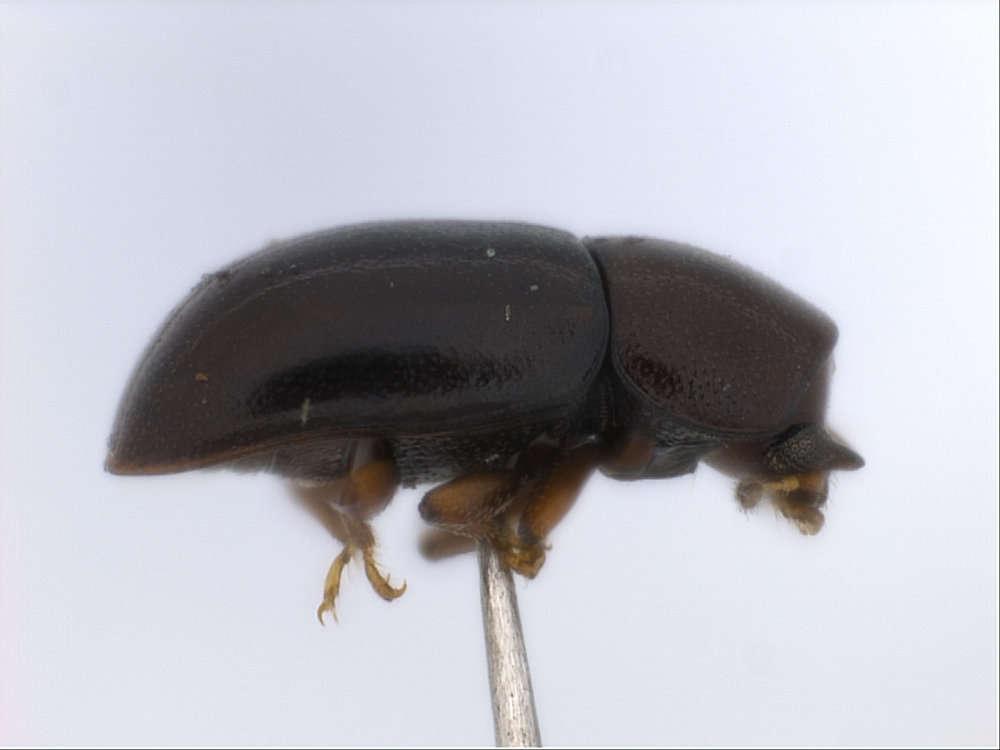 Image of Cucujiformia
