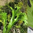 Image of <i>Microsorum punctatum</i> (L.) Copel.