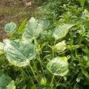 Image of <i>Alocasia cucullata</i> (Lour.) G. Don