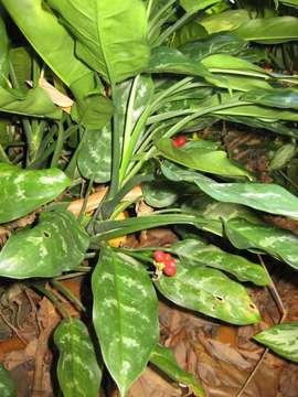 Image of aglaonema
