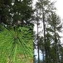 Image of Caribbean pine