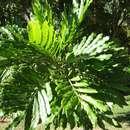 صورة <i>Filicium decipiens</i> (Wight & Arn.) Thwaites
