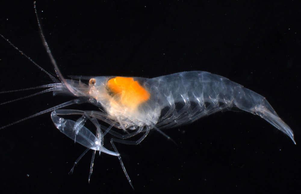 Image of Alpheoidea