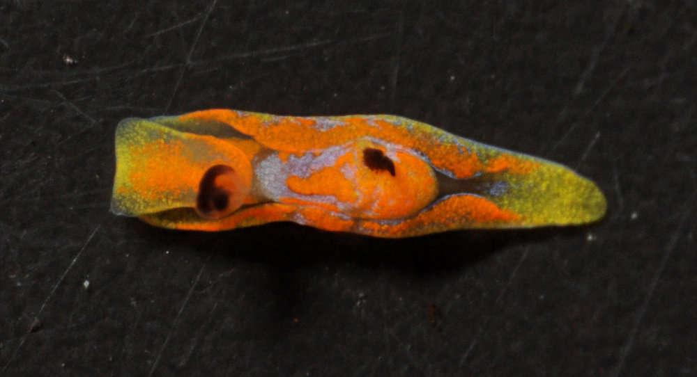 Image of Philinoidea
