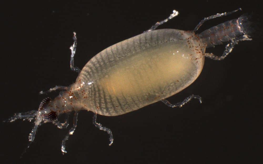 Image of Cymothoida