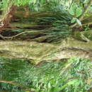 Image of stiff shoestring fern