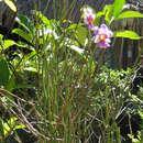Image of <i>Vanda</i> teres × Vanda <i>hookeriana</i>
