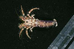 Image of Diogenidae