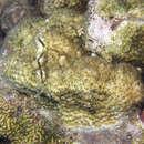 Image of Lesser Knob Coral