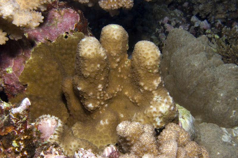 Image of hexacorallians