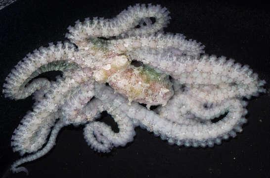 Image of Octopodoidea d'Orbigny 1839 ex Ferrusac & d'Orbigny (1834)