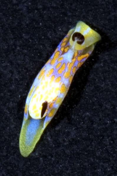 Image of Headshield slugs
