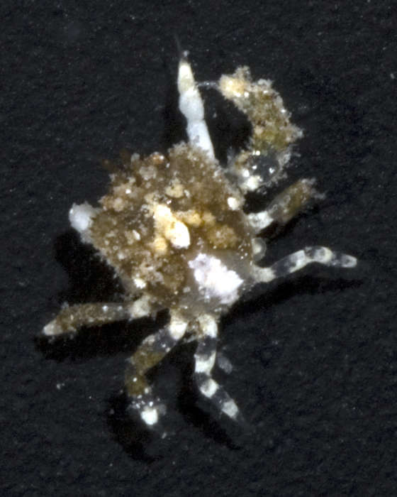 Image of Thoracotremata Guinot 1977