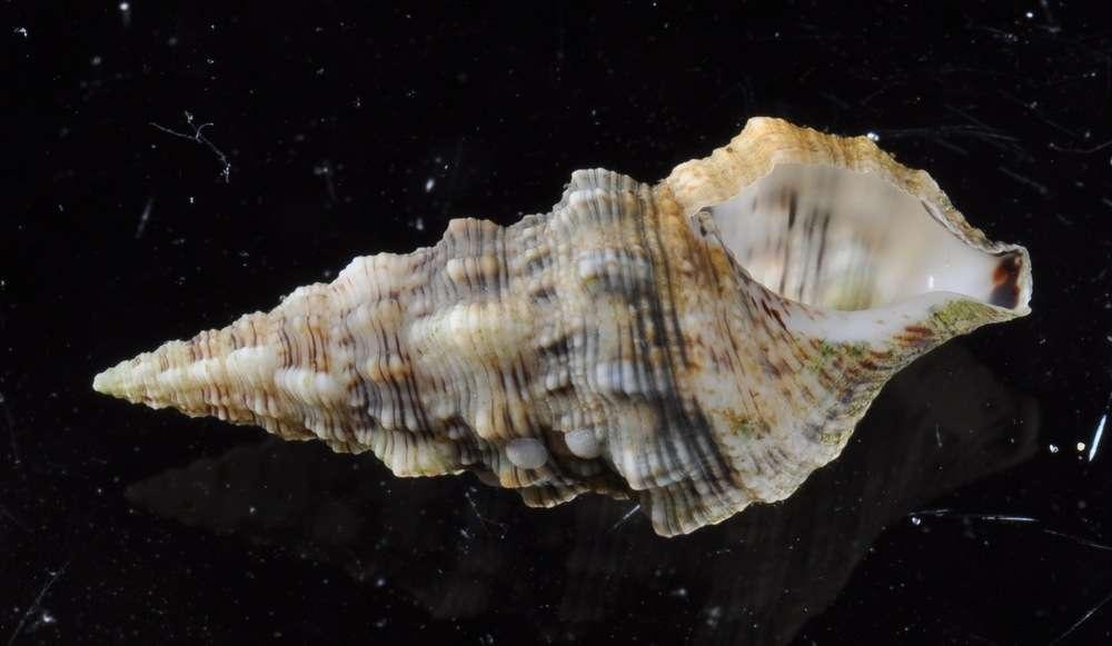 Image of Cerithiidae