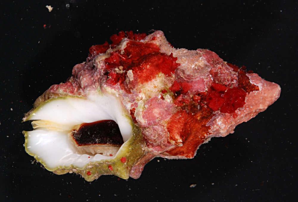 Image of Ergalataxinae Kuroda, Habe & Oyama 1971