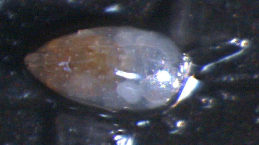 Image of Cytherocopina Baird 1850