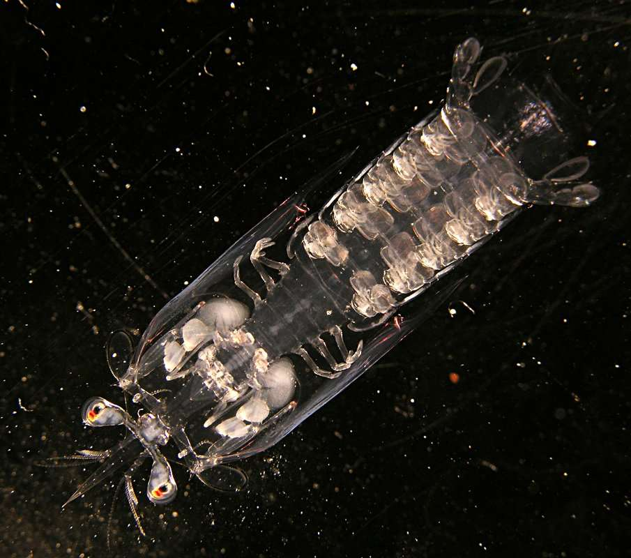 Image of Lysiosquilloidea