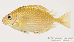 Image of rabbitfishes