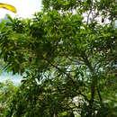 Image of <i>Pouteria caimito</i> (Ruiz & Pav.) Radlk.