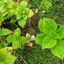 Image of Bigleaf Hydrangea