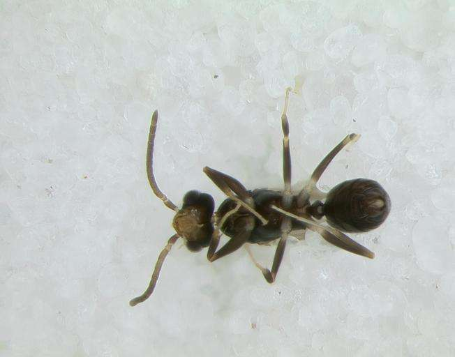 Image of Aculeata