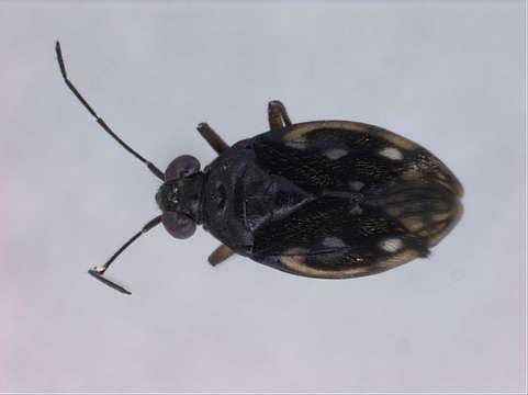 Image of Leptopodomorpha