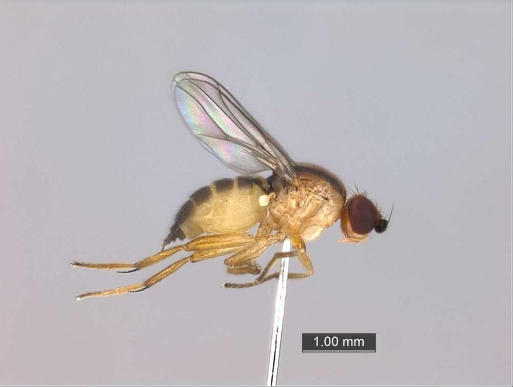 Image of Brachycera