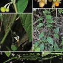 Image of <i>Solanum apiahyense</i> Witasek