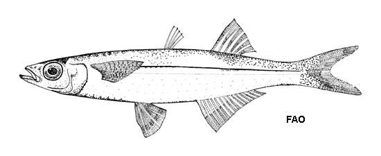 Image of Atlantic silversides
