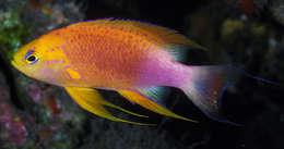 Image of Pseudanthias