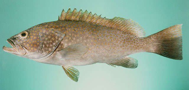 Image of groupers