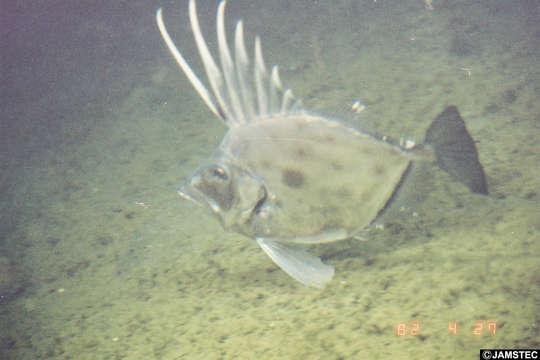 Image of Zenopsis