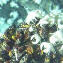 Image of <i>Lepetodrilus nux</i> (Okutani, Fujikura & Sasaki 1993)
