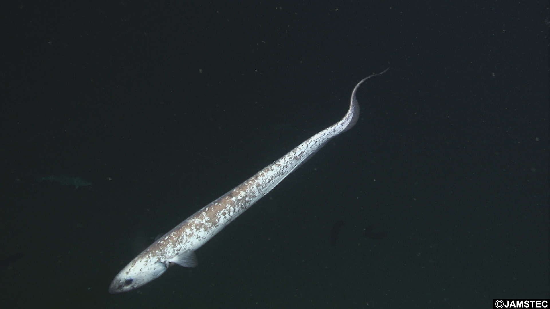 Image of tarpons, bonefishes, eels and relatives