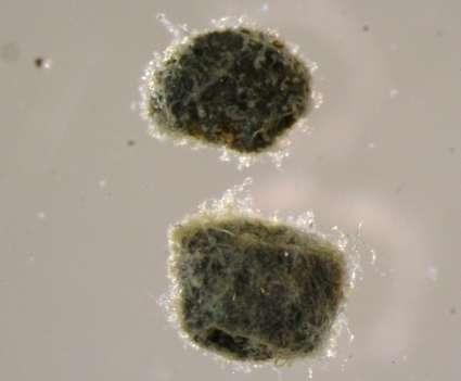 Image of Endomyxa