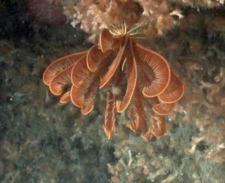 Image of Thalassometridae AH Clark 1908