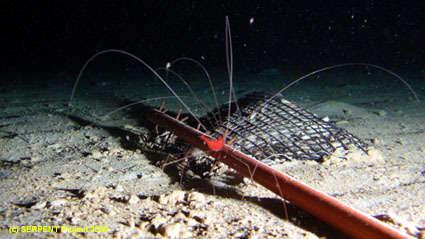Image of Nematocarcinoidea